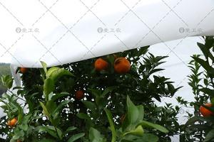 柑桔贝博提现布
